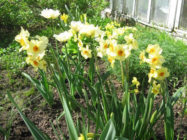 цветут нарциссы на даче