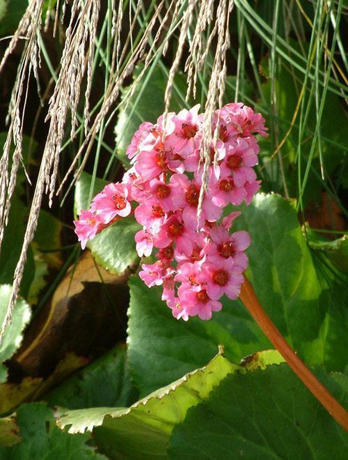 Цветы бадана Morgenrote