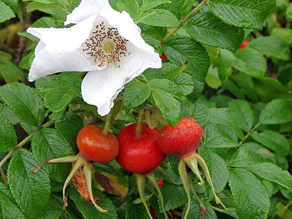 плоды и цветы розы морщинистой
