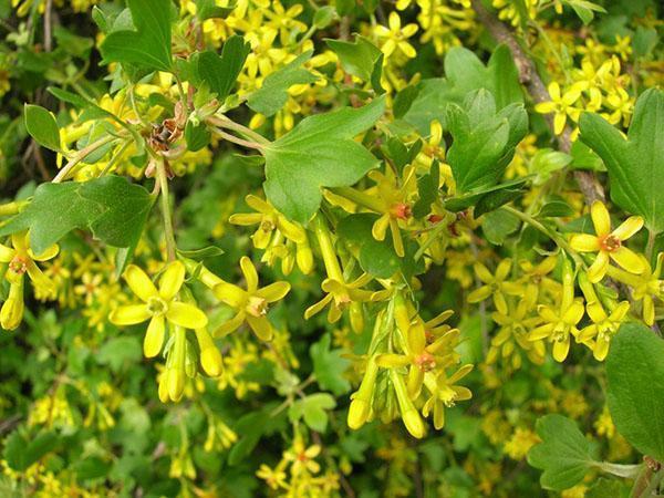 цветы смородины золотистой