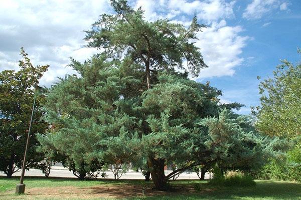 Взрослое дерево можжевельника виргинского
