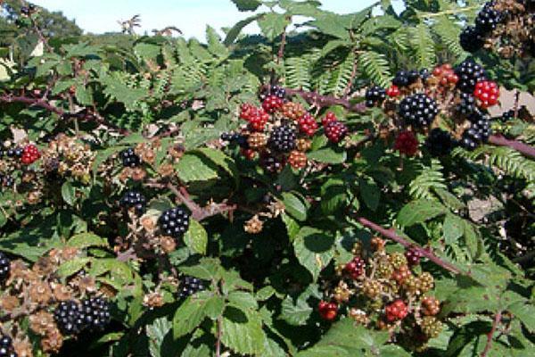 Выращивание ежевики на украине 28