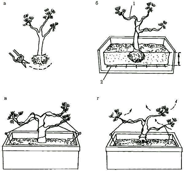 Бонсай сосна - как сделать своими руками из сосны обыкновенной, японской, горной, видео