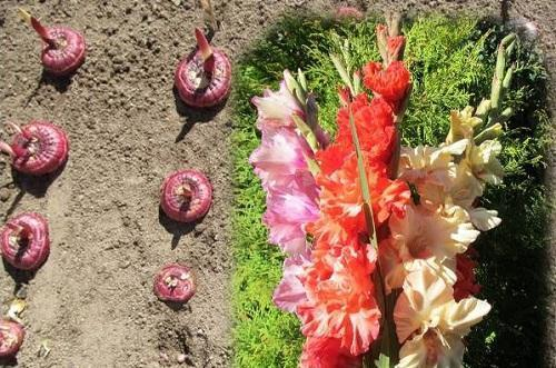 Можно ли гладиолусы сажать семенами 61