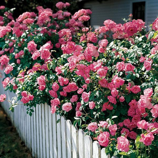 изгородь из полиантовой розы