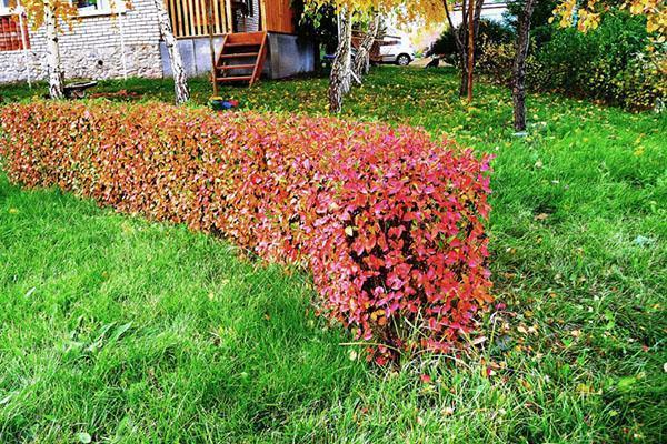 изгородь кизильника блестящего осенью