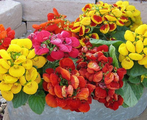 Пестрые цветы кальцеолярии