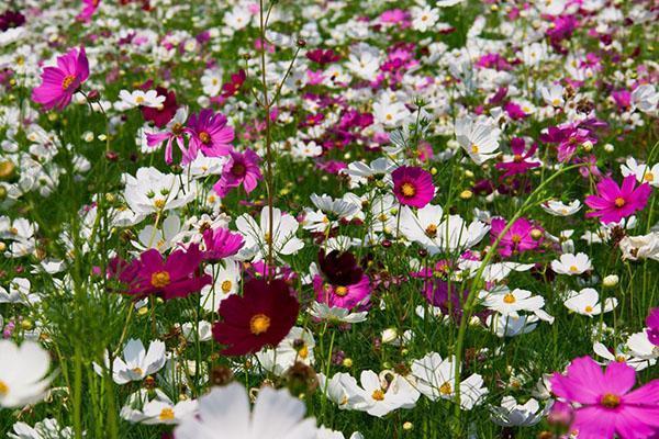 Космея цветы описание и 84