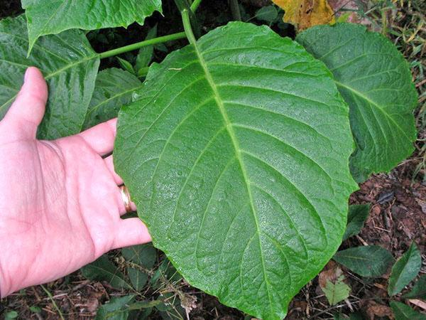 Крупный лист бругмансии древовидной