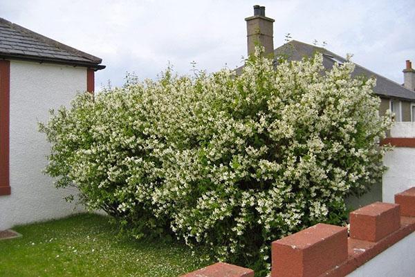 кустарник жасмин возле дома