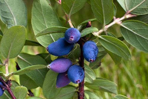 лечебные ягоды жимолости