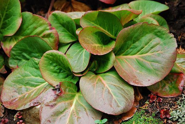 листья бадана толстолистного