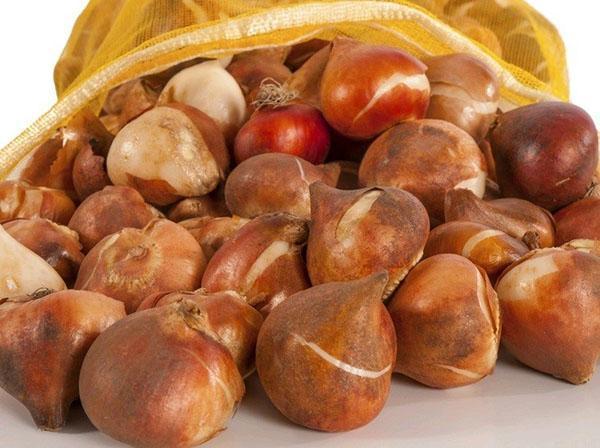луковицы тюльпанов на хранении