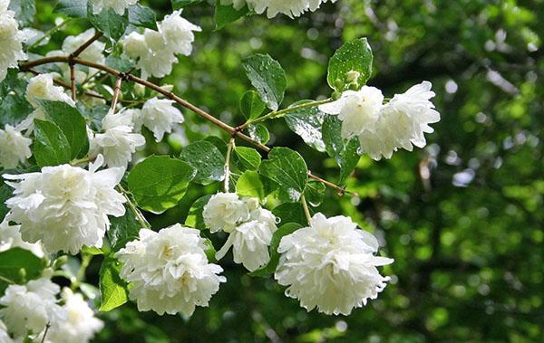 махровые цветы чубушника