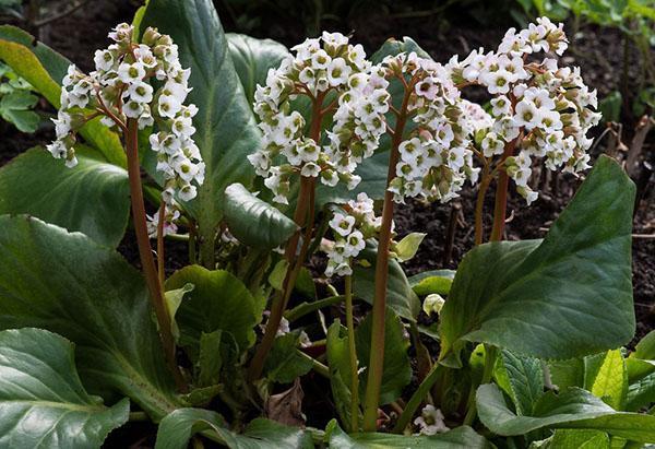 Массовое цветение бадана Scheekoenigin