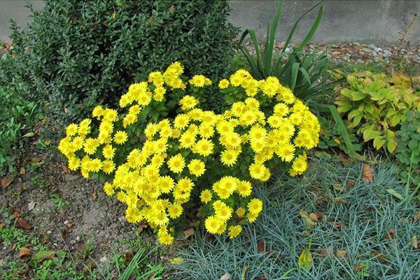 Хризантема мелоцветковая высокорослая на срезку