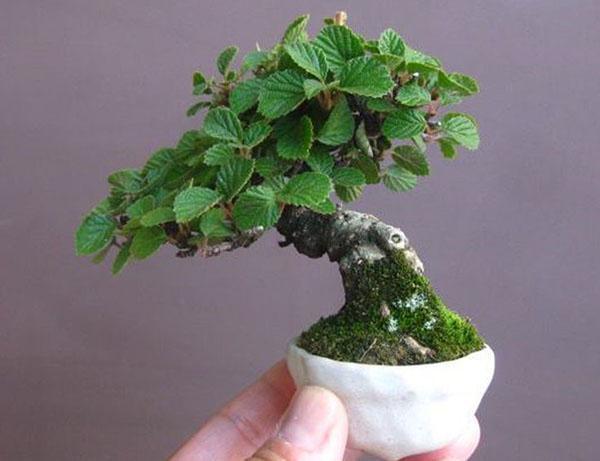 миниатюрное полноценное растение