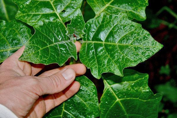Молодые листья растения вида Brugmansia sanguinea