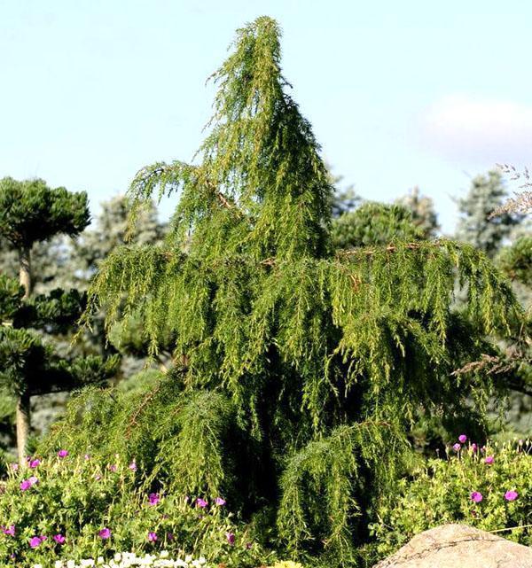 Можжевельник обыкновенный Oblonga Pendula