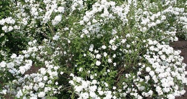 обильное цветение садового жасмина