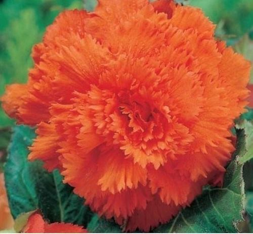 оранжевая бегония фимбриата