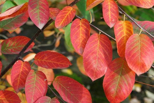 осенние листья ирги