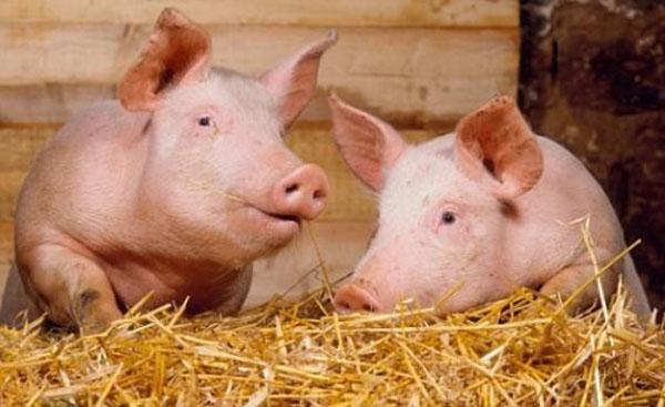 откорм поголовья свиней