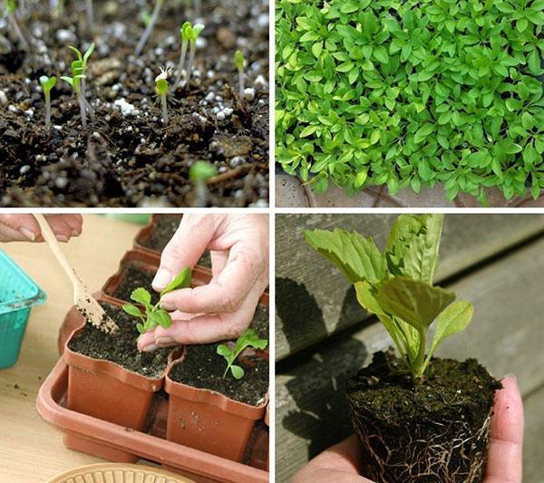 Как правильно в домашних условиях вырастить рассаду 6