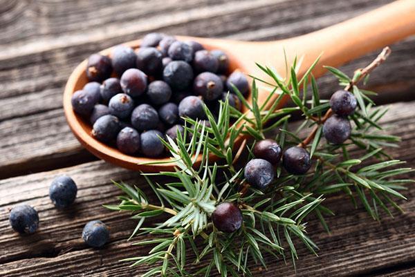 полезные свойства ягод можжевельника