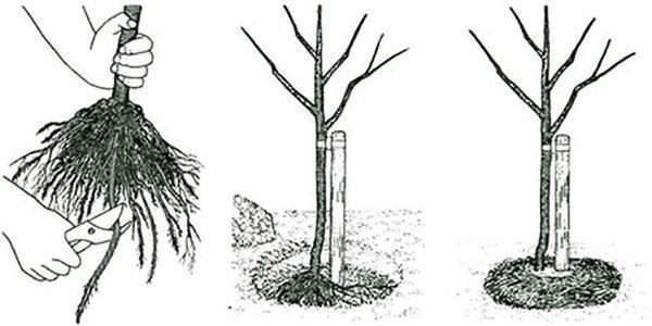 Алыча - посадка и уход в средней полосе России, как правильно посадить саженцы весной, обрезка, видео