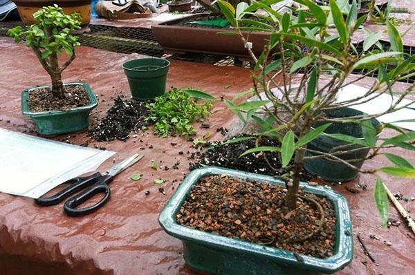 Как посадить бонсай не из семян в домашних условиях 329