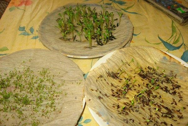 проращивание семян астры