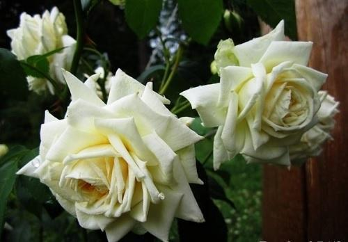 роза ильзе крон супериор