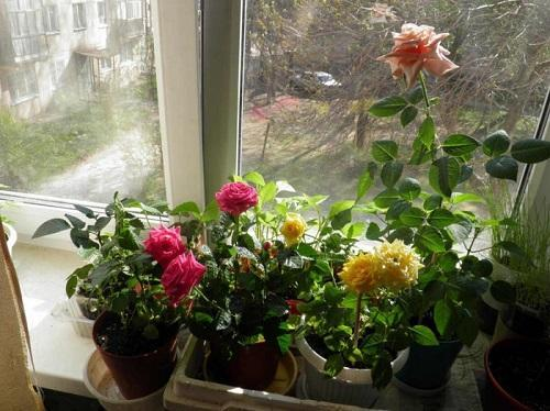 розы на окне