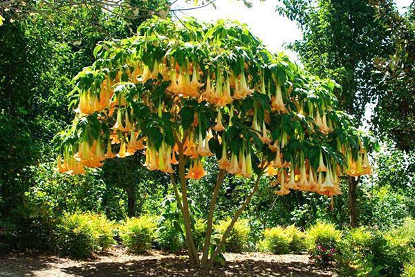 садовая бругмансия в цвету