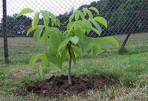 Какие растения можно сажать под деревьями? Несколько