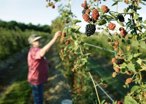 сбор урожая ежевики на шпалере