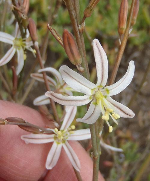 Соцветие трахиандры