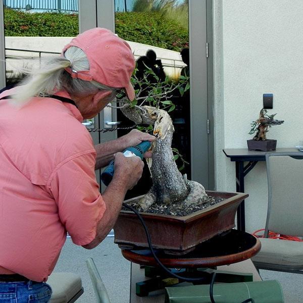 состаривание ствола бонсай фикуса