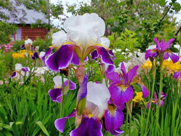 цветение ирисов