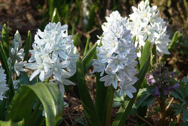 Неприхотливые цветы многолетней пушкинии