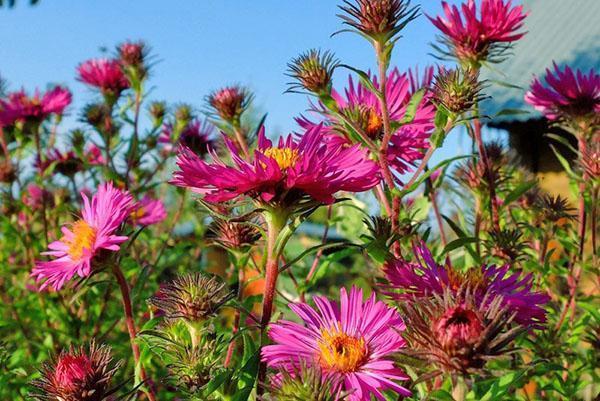Соцветия-корзинки многолетней астры