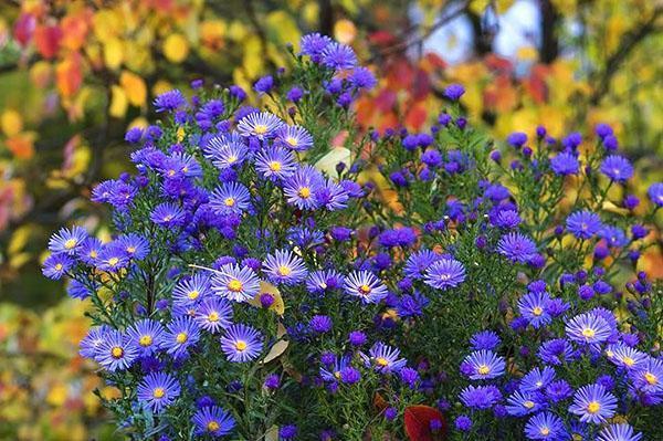 Кустистая многолетняя астра в цвету