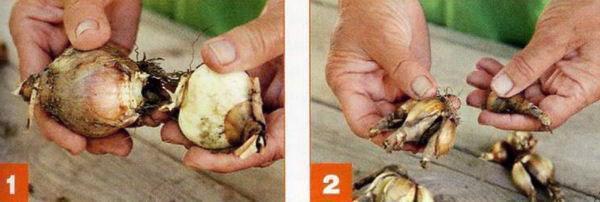 уход за выкопанными луковицами