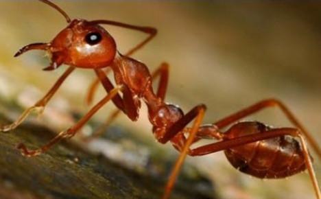 вредитель пасеки муравей