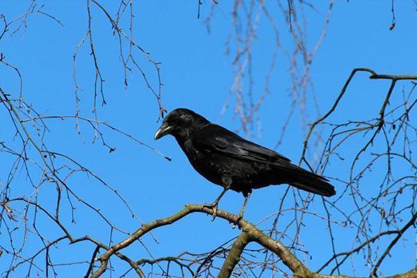 вредитель сада и огорода ворона