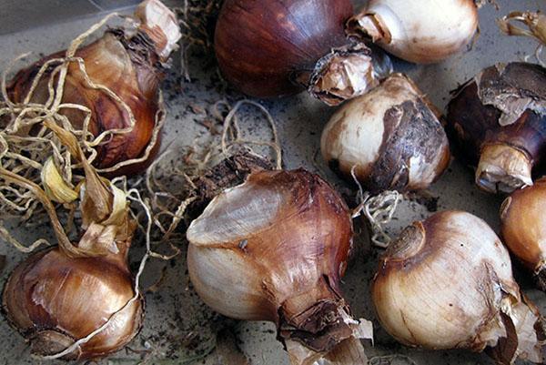 выкопанные луковицы после цветения