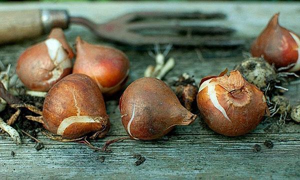 выкапаные луковицы тюльпанов