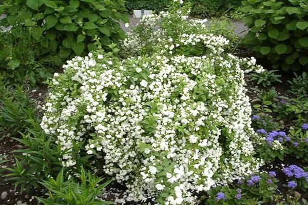 выращивание жасмина