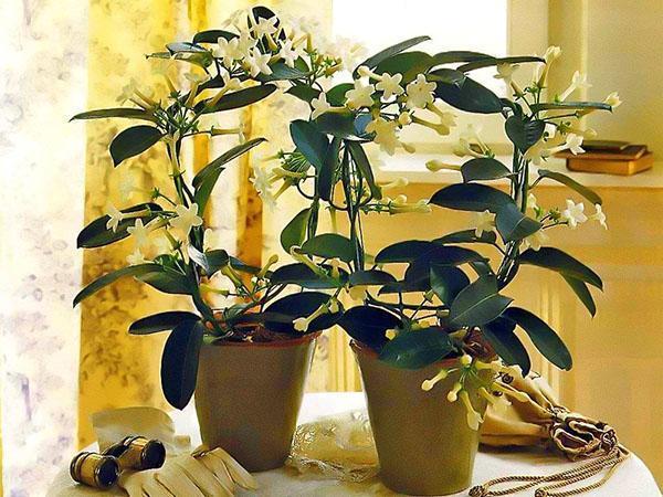 Восковик цветок уход в домашних условиях размножение